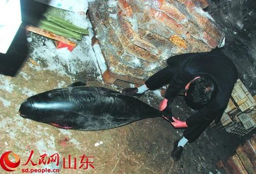 人民网日照3月28日电 近日,有市民在日照经济开发区裴家村渔港码头发现一头丢弃猪鱼,发现时已经死亡。后经渔政部门专家现场辨认,确定猪鱼为国家二级保护动物江豚。 据了解,该江豚体长约1.4米,体重约55公斤,一胸鳍缺失,体表较好。随即,渔政工作人员将其送往冷藏厂进行冷冻保存,待以后处置。 据市渔政部门工作人员介绍,江豚可能是轮船在航行的过程造成伤害,也有可能误闯入渔网中未能被及时发现解救发生死亡。若保存完好,今后或将制成标本用于中小学校的科普教育。 对此,市渔政部门提醒,市民如发现遇险、被困及误捕的水