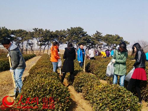 大学生创业团队在为茶树冬季施肥