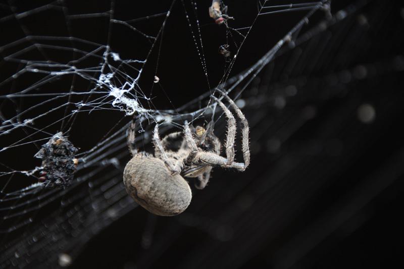 视频捕食记者张网据势技巧实拍蜘蛛苍蝇巨型鱼摘图片
