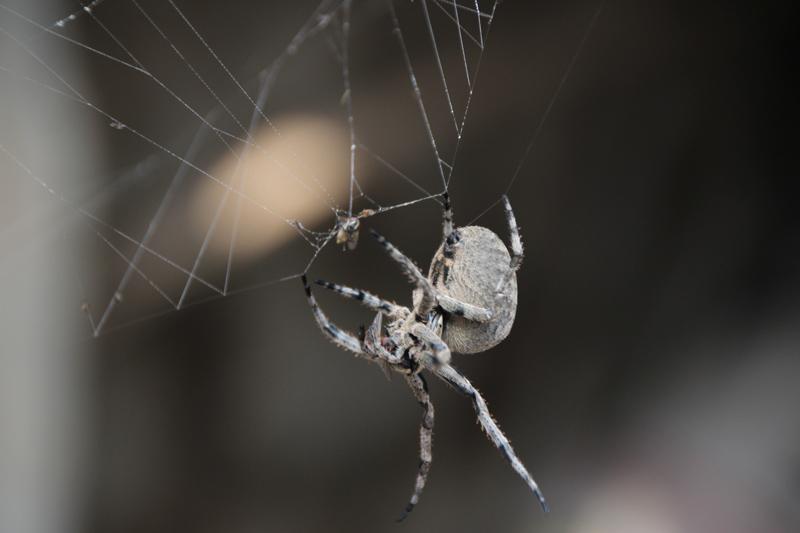 苍蝇注射张网蜘蛛据势巨型实拍记者生室女打针捕食视频图片