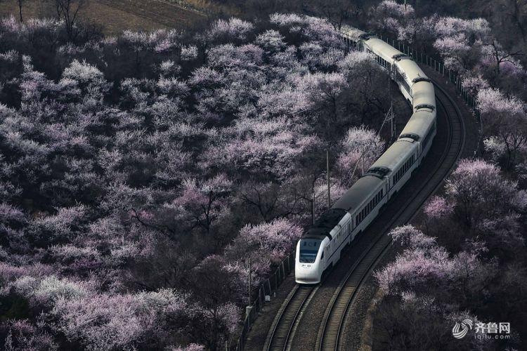 长城脚下山花怒放 花海与列车在春天相遇