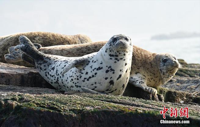斑海豹洄游山东长山列岛 憨态可掬