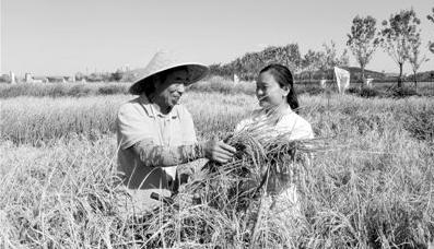 """青岛海水稻:让""""农业荒漠""""变良田"""