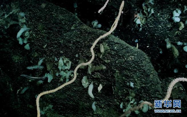 我国科学家在南海甘泉海台首次发现冷水珊瑚群