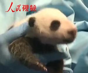 """华南首只大熊猫二代幼仔超可爱         8月12日,华南地区首只大熊猫子二代""""隆仔""""迎来了满月。"""