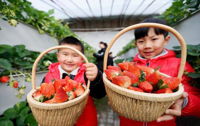 """山东即墨:""""立体草莓""""寒冬上市"""
