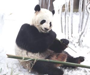"""冰天雪地卖萌撒欢 济南大熊猫这个冬天很爽        近日,在济南野生动物世界,大熊猫尽情""""享受""""冰雪之乐,举止呆萌惹人爱。"""