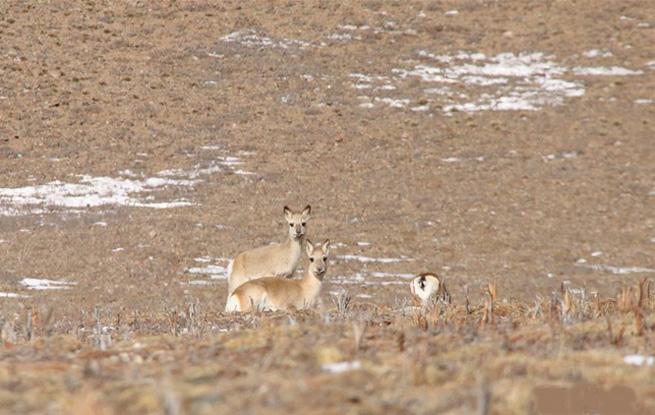 冬日活跃在三江源地区的野生动物