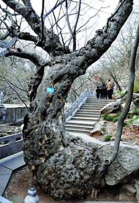 野生土檀树图片