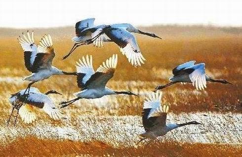 黄河口丹顶鹤的栖息地