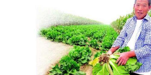 减产o仅青岛市白菜种植面积就减少了3万多亩o在胶州市里岔镇良—村,村