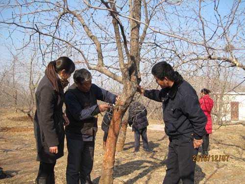 峄城区阴平镇枣树冬季管理